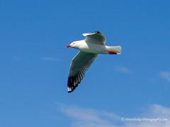 Red-billed gull, NZ (Peter.Stokes) Tags: colour nature outdoors photography photo australian australia summer vacation native flight birdsinflight vacations flying seagull gull redbilledgull