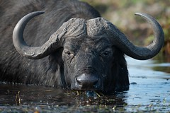 The Boss (Glatz Nature Photography) Tags: africa botswana choberiver glatznaturephotography nature nikond850 wildanimal wildlife africanbuffalo capebuffalo synceruscaffer intensity boss eyecontact uncroppedimage