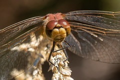 Shared Solitude (LadyBMerritt) Tags: dragonfly insect eyes macro closeup nature creature inmygarden