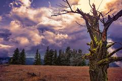 A Snag (KPortin) Tags: tree moss clouds sun stormy explore htt oregon hellscanyon