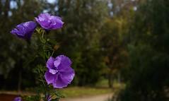 Australian native hibiscus (krillmerma) Tags: australian native hibiscus alyogyne huegelii west coast gem blue purple flower australia pretty garden spring