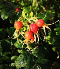 IMG_20190924_090750 (www.ilkkajukarainen.fi) Tags: rose hip ruusun marja kallio helsinki red gree suomi finland finlande eu europa scandinavia happy life line visit travel travelling