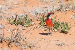 Crimson Chat (male) 1 (petefeats) Tags: australia birds bowrasanctuary crimsonchat cunamulla epthianuratricolor meliphagidae nature passeriformes queensland male