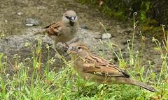 House Sparrow (Sheuli Hossain) Tags: nature bird bangladesh housesparrow
