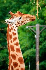 Giraffe (Giraffa camelopardalis) (UsualRedAnt) Tags: giraffacamelopardalis deutschland tierpark friedrichsfelde giraffe berlin zoo natur tier germany