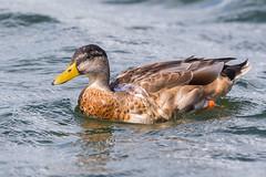 Water Off A Ducks Back (Glenn.B) Tags: farmoorreservoir nature oxfordshire wildlife duck bird avian waterfowl water wildfowl mallard commonmallard