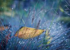 Fall (ursulamller900) Tags: pentacon3530 leaf blatt mygarden bokeh grass gras morningdew morgentau autumn herbst blue