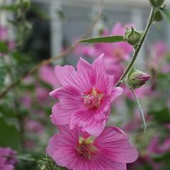 pink mallow and a bokeh window - explored (quietpurplehaze07) Tags: pink bokeh window octobre rosa mallow