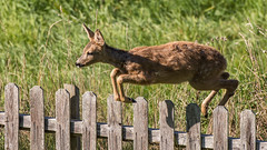 A visitor to the garden (tonyguest) Tags: karlshamn blekinge sweden garden deer nature tonyguest leaping jumping
