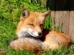 Füchslein / Little Fox (rudi_valtiner) Tags: wildtiere wildlifeanimals tiere animals natur nature mauternindersteiermark steiermark styria österreich austria autriche füchslein littlefox vulpesvulpes rotfuchs redfox fuchs fox ie fe