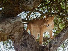 Las leonas trepadoras