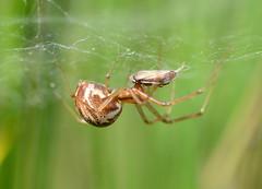 Linyphia triangularis (Alan Thornhill) Tags: linyphia triangularis female weststow suffolk uk countrypark spider linyphiidae