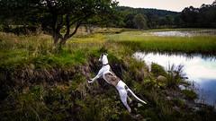 Having a look (prajpix) Tags: dog pet hound sighthound canine look peek peep spy loch lake water burn bank trees woods woodland forest plantation reeds lilies reflection invernesshire highlands scotland