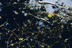 Fallen into the water (soundmoods) Tags: water reflection fallen acorn surface ditch life floating green eco system nature blackwater