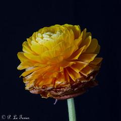 Renoncule 06 (letexierpatrick) Tags: renoncule fleur flower floraison fondnoir nature nikond7000 nikon orange old explore cof078patr cof078mchi cof078dmnq cofo78ally