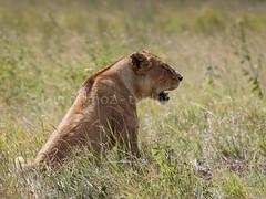 Hasta que aparecio la leona