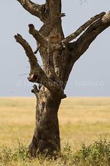 Los dos leopardos tranquilos