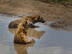 Hienas bañandose