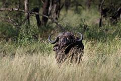 Primer búfalo, segundo objetivo
