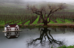 Winter in the vineyards (Robin Wechsler) Tags: vineyard vines landscape tree water reflection winter
