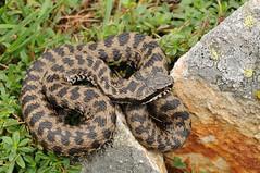 Vipera berus (aspisatra) Tags: vipera viperaberus berus viper adder vipère pelias peliade serpente snake ticino serpent