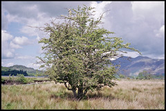 11th of May 2019 (Paul of Congleton) Tags: may 2019 derwentwater manesty cumbria lakedistrict england uk tree olympus om4ti 35mm colour negative film