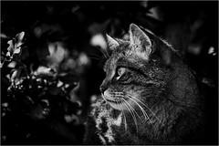 Katze (robert.pechmann) Tags: hauskatze katze bw sw blackandwhite cat