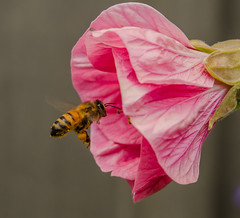 Pretty in Pink. (m&em2009) Tags: nature nikon d7000 lens 60mm bee insect bug pollen pink flower abutilon petal fantasticnature