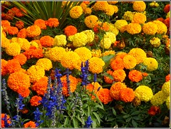 Colourful Flower Bed ... (** Janets Photos **) Tags: uk eastyorkshire hull citycentres flowers plants flora