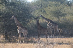 A Trio of Giraffes (Rckr88) Tags: krugernationalpark southafrica kruger national park south africa a trio giraffes atrioofgiraffes atrioofgiraffe giraffe animals animal wilderness wildlife nature naturalworld outdoors travel travelling