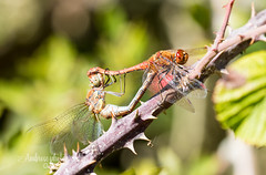 Red Darter's Mating. (~ **Barbara ** ~) Tags: reddarter mating summerleys wild insects red green closeup tree bush wings lace autumn 100400l mk2 canon7dii