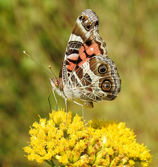 American Lady (annette.allor) Tags: vanessavirginiensis americanlady butterfly brushfoot