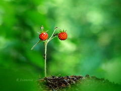 Wild strawberry (R_Ivanova) Tags: nature forest summer strawberry plant bokeh colors color red green outdoor ant insect sony rivanova риванова растения природа ягода гора мравки цветно макро macro wildstrawberry