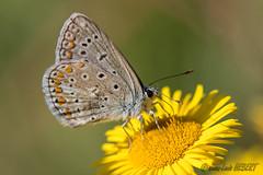 Azuré (jean-louis21) Tags: nature papillon azuré bleu argus