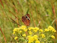 Common Buckeye - Rosa Form (annette.allor) Tags: commonbuckeye junoniacoenia brushfoot butterfly