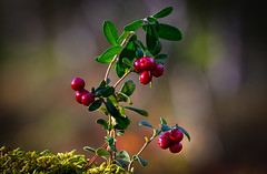 Lingonberry (Olof Virdhall) Tags: lingonberry forest autumn red delicacy closeup canon eos5 mkiii makro olofvirdhall