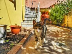 miss Maria... (panoskaralis) Tags: cats pets animal garden myhome lesvos lesvosisland mytilene greece greek hellas hellenic nikoncoolpixb700 nikon nikonb700 cute