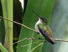 015A6064 Andean Emerald (suebmtl) Tags: bird hummingbird andeanemerald amaziliafranciae mindo pichinchaprovince