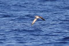 5D4_8253_DPP.Comp2048 (SF_HDV) Tags: mediterraneansea balearicsea seabird shearwater corysshearwater birdsinflight mallorcachannel ibiza balearicislands