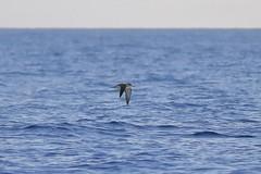 5D4_8189_DPP.Comp2048 (SF_HDV) Tags: mediterraneansea balearicsea seabird shearwater corysshearwater birdsinflight mallorcachannel ibiza balearicislands
