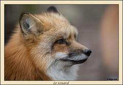 Renard-1 (Chris et Phil) Tags: renard fox
