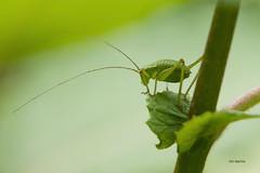 green in green (ralf k. lang) Tags: berlin heupferd nahaufnahme macro grasshopper macrophotography insects tettigonia ensifera insekten animals green nature bugs