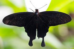 Pachliopta Kotrebuna (pj lens) Tags: papillon règne animalia embranchement arthropoda classe insecta ordre lepidoptera famille papilionidae sousfamille papilioninae genre battus