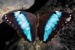 Morpho Helenor (pj lens) Tags: papillon règne animalia embranchement arthropoda classe insecta ordre lepidoptera famille papilionidae sousfamille papilioninae genre battus
