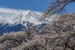 A person's travel (Isaac Chiu_TW) Tags: arakurayamasengenpark sakura cherryblossoms fuji 桜花 櫻花 新淺間神社