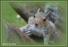 Squirrel (maryimackins) Tags: squirrel wildlife england mary mackins