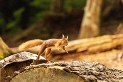 Red squirrel leaping (ejwwest) Tags: