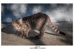 Stray cat (Ignacio Ferre) Tags: gato gatocomún cat pet mascota felidae felino felid felines feliscatus felids nikon animal mamífero vertebrado straycat