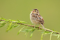 Grasshopper Sparrow singing on willow - Ohio (www.studebakerstudio.com) Tags: grasshopper sparrow grasshoppersparrow ohio willow singing song
