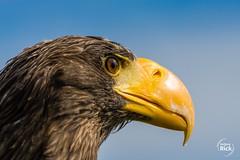 (rick_wolfgang) Tags: seeadler vogel kreuzenstein